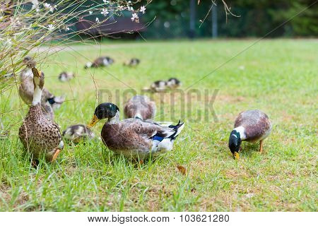 Ducks In The Israeli Galilee