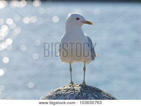 Seagull Standing On A Stone