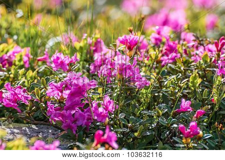 Beautiful Rhododendron Flowers