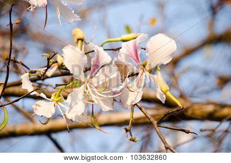 Bauhinia Variegata Flowers