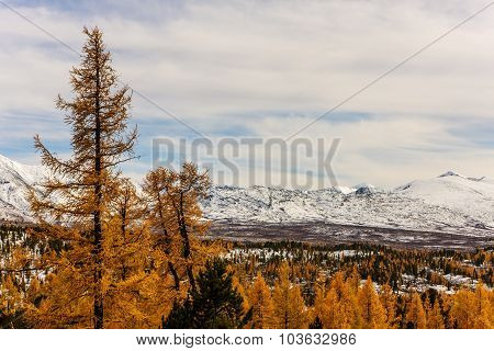Mountain Landscape With Autumn Larches