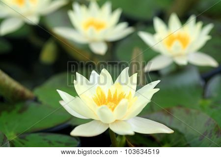 Yellow Lotus Blooming In The Pond