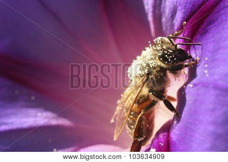 Bee On The Flower Petunia