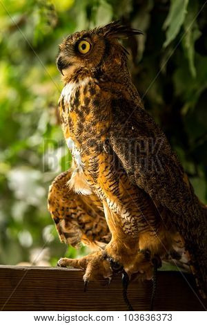 Injured Great Horned Owl 3