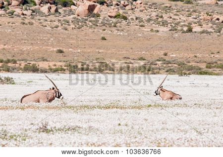 Oryx In White Flowers