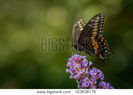 Close Up of a Black and Orange Swallowtail Butterfly