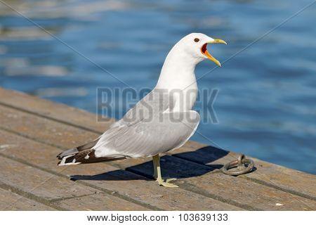 Seagull Standing On Bridge Screaming