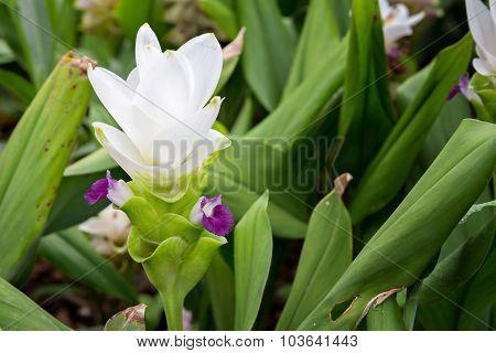 White Curcuma Alismatifolia Or Siam Tulip