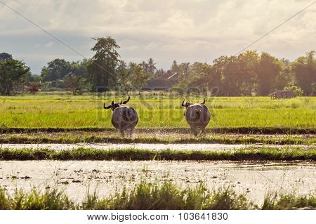 Thai Water Buffaloes Running On Swamp In Evening