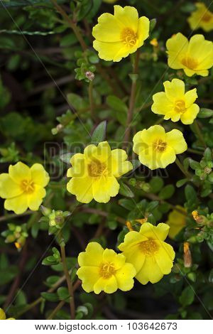 Yellow Portulaca Flowers