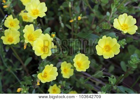 Yellow Portulaca Flowers