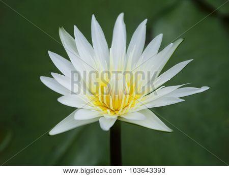White Waterlily