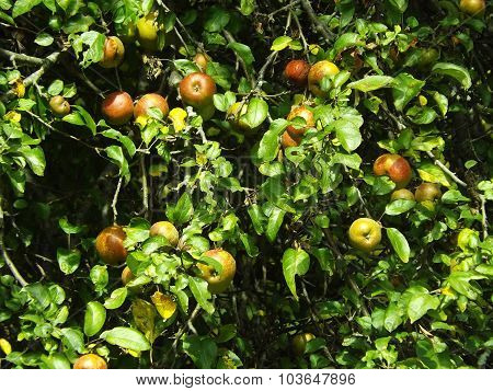 lots of apples hanging in a tree