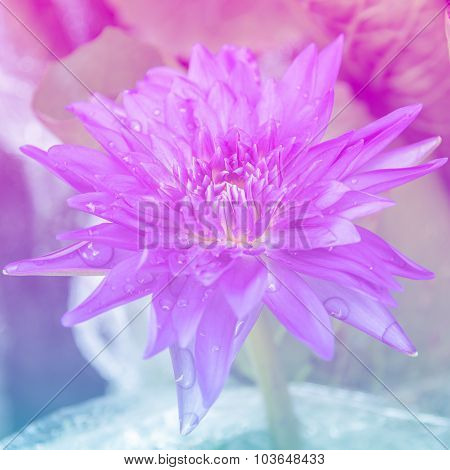 Sweet Color Waterlily In Soft Color And Blur Style