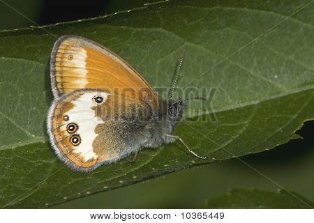 Pearly Heath / Coenonympha arcania