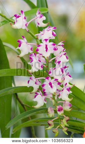 Beautiful Orchid In Garden,colorful Orchid.