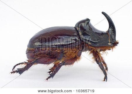 rhinoceros beetle on the white isolate background