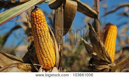 Maize Ready For Harvest