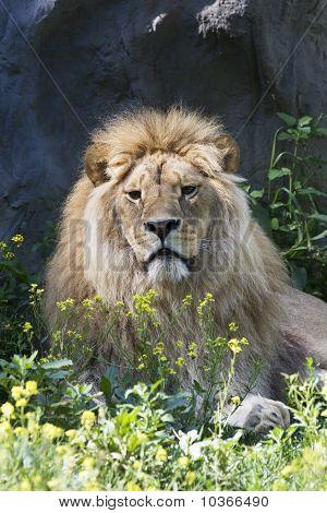 lion , male