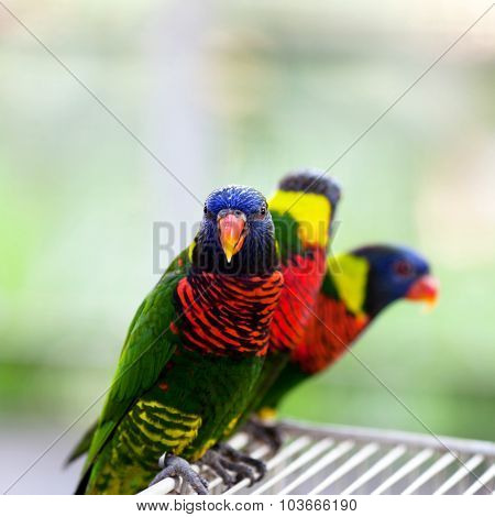 Lory Parrot