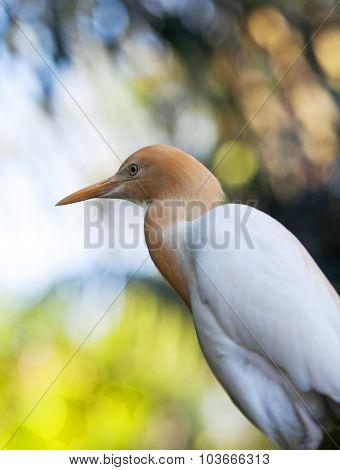 Cattle Egret (bubulcus Ibis) Heron