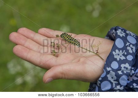 Caterpillar Of A Swallowtail Butterfly In A Childs Hand