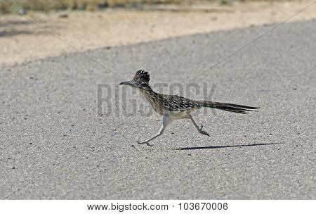 A Greater Roadrunner (Geococcyx californianus) running across a road. Shot in Tuscon Arizona United States of America.