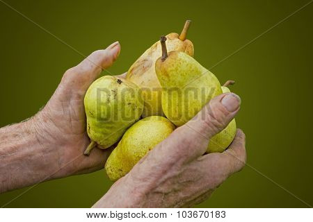 Old Farmers Hands With Picked Ripe Pears
