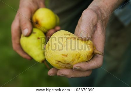 Old Gardeners Hands With Ripe Pears