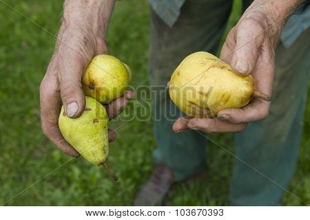 Old Farmer Picking Ripe Yellow Pears