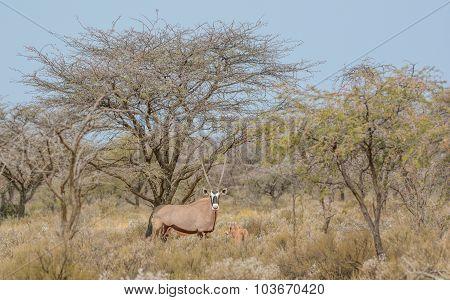 Gemsbok Mother And Calf