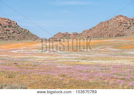Oryx In Carpet Of Flowers In Goegap Nature Reserve