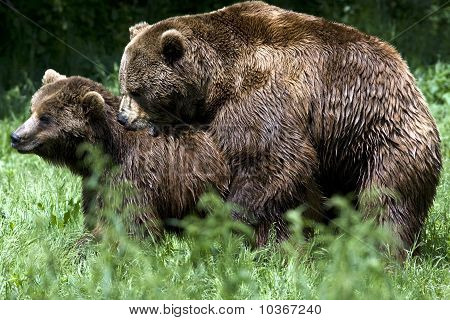 brown bear mating / Ursus arctos