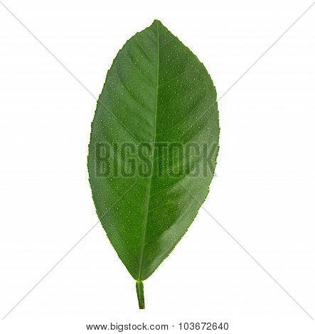 Leaf Lemon Citrus Isolated On White Background
