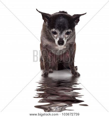 Chihuahua looking at his reflection on water