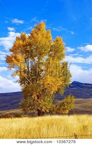 Single Cottonwood
