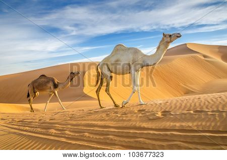 Camels Walking Through A Desert