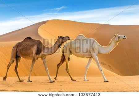 Camels Walking Through A Desert