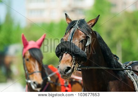 Trotters Heads On Racetrack Before Start