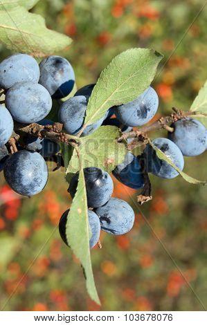 blue sloes (Prunus spinosa)
