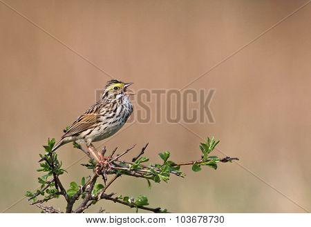 Singing Savannah Sparrow