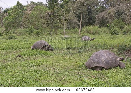 Galapagos Giant Tortoises In A Field