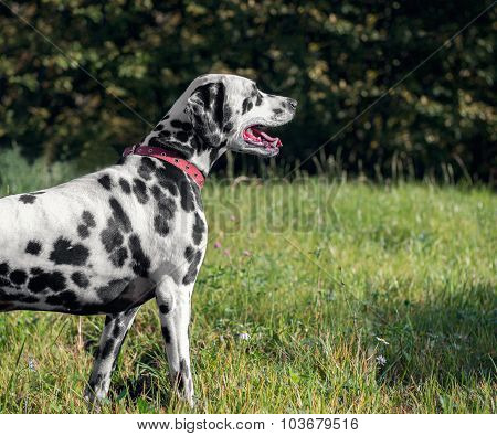 Dalmatian dog on the nature