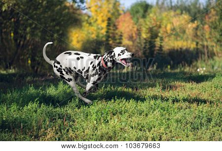 Dalmatian dog running back