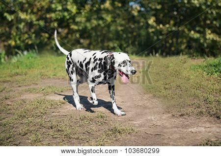 Dalmatian is in the nature