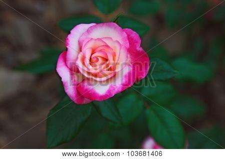 beautiful twocolored flower rose. outdoor shot