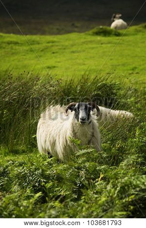 Black face sheep in a land in Scotland
