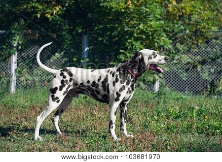 Cute Dalmatian dog breed stands in the position of exhibition st