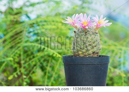 Cactus With Pink Flower In Flower Pot On Green Background