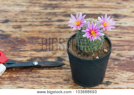Cactus In Flower Pot On Wood Table And Scissor